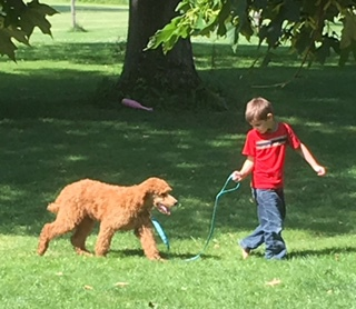 AKC Standard Poodles in Central Ohio